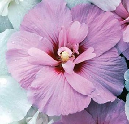 Hibiscus~ Lavender Chiffon (1)
