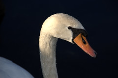 wet swan (olszuffka) Tags: france wet water port harbor geneva harbour swam evianlesbains laclemon