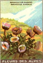 fleurs alpes 7