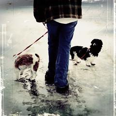 Sunday walk (Leaca's Philosophy) Tags: snow ice alaska walking fun photography interestingness warm walk faith sunday shihtzu rusty textures fred melt nut leash temps nutmeg jayzee bubbers leaca leschick leacasphilosophy