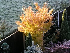 Frosty sunrise on autumn Acer Senkaki (Four Seasons Garden) Tags: uk autumn england west colour english fall nature beautiful yellow marie gardens garden four maple frost day all open seasons mail picture competition daily tony foliage national fourseasons acer winner scheme urbangarden staffordshire newton walsall englishgarden midlands palmatum dailymail blackcountry ngs nationalgardenscheme sangokaku senkaki fourseasonsgarden wonderfulworldofflowers charityopendays