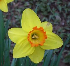 Daffodil 7