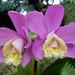 Cattleya loddigesii...