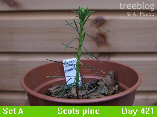 Gamma Scots pine