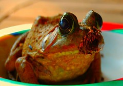 eye of frog and food of cat ~ ojo de rana y alimento de gato (garlandcannon) Tags: surreal frog catfood surprise rana rara frogprince warmcolors elpasotexas
