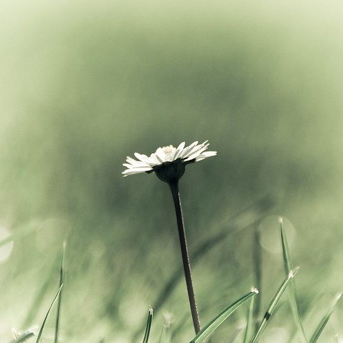 Lonely daisy / Gregory Bastien