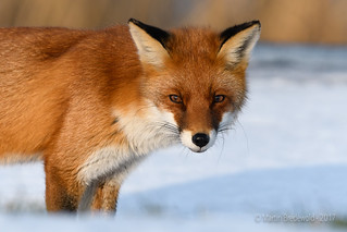 Red Fox in the Snow - Vos in de sneeuw