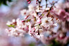 """""""It takes courage to grow up and become who you really are."""" (ginnerobot) Tags: pink sky white beautiful sunshine contrast spring blossom bokeh branches neighborhood stems april cherryblossom blooming smallflowers pioneerwomanactions"""