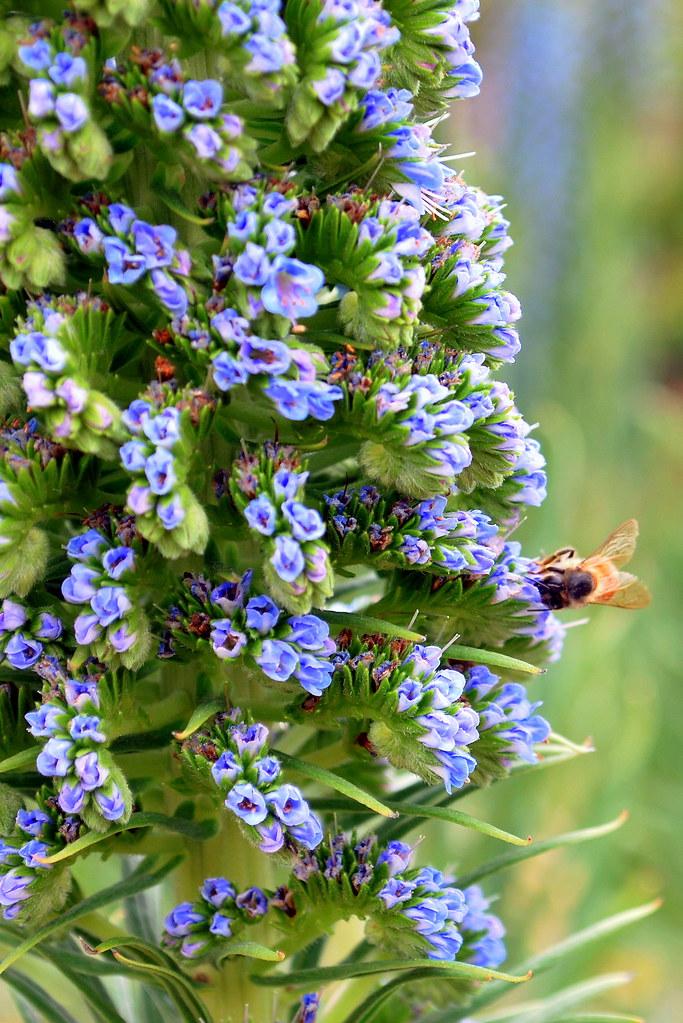 Blue Flowering Shrub