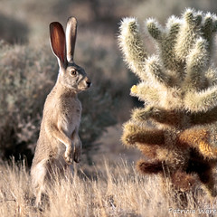 The Sentry by the Teddy Bear Cholla (Patricia Ware) Tags: california canon jackrabbit naturesfinest vallecito specanimal anzaborregodessert 300mmwith14telephotolens lepuscalifornicusdeserticola