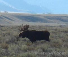 Same big moose