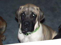Excalibur as a puppy (muslovedogs) Tags: dogs mastiff excalibur