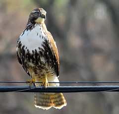 Hawk On Wire (ozoni11) Tags: bird nature birds animal animals wings nikon hawk wing feathers feather maryland explore raptor d200 raptors hawks supershot qemd interestingness479 i500 animaladdiction specanimal michaeloberman ozoni11 avianexcellence