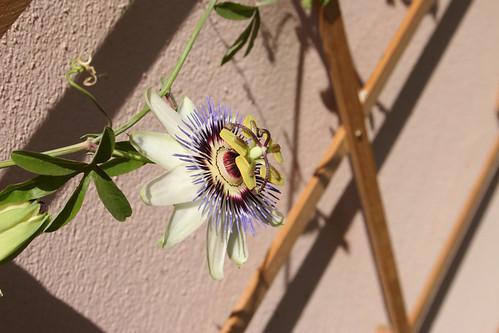 Passiflora - NOT Constance Eliott!