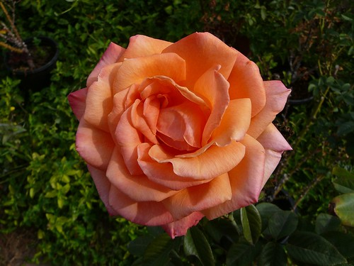 a_rose-1110903