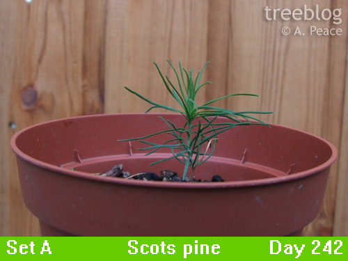 Scots pine alpha (Day 242)