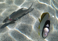 Curious Fish (jurvetson) Tags: life fish nature animal hawaii underwater snorkeling curious fishes kona vie hualalai poissons