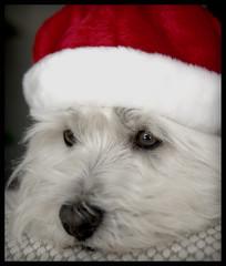 (paulh192) Tags: santa christmas dog home hat michigan westie westhighlandwhiteterrier grandrapids