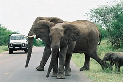 Why did the elephants cross the road? (susana_helle) Tags: road park family wild animals southafrica wildlife safari elephants kruger
