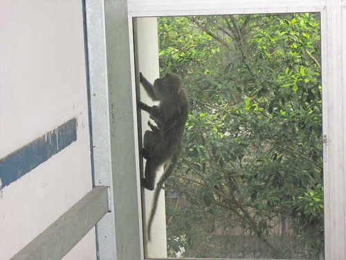 Monkey at University Malaya