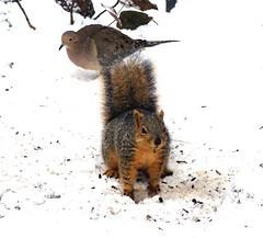 Squirrel with bird (EcoSnake) Tags: winter fish snow game cold birds animals squirrels dove wildlife january birdfeeder idaho boise naturecenter easternfoxsquirrel