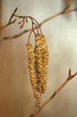 Alnus glutinosa - Zwarte els, Alder