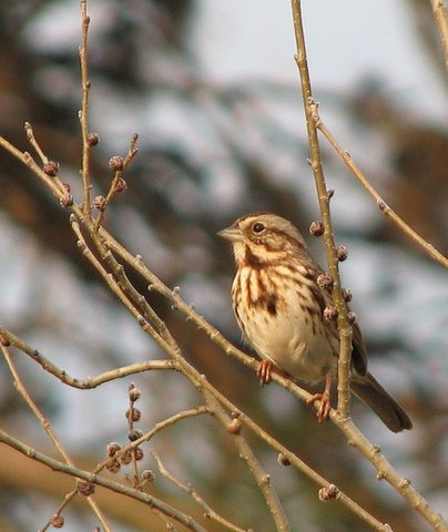 another view of song sparrow