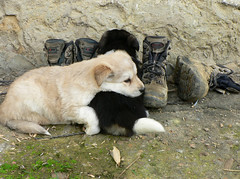 Bodegn de perros y botas / Still life of dogs and boots (cctrilla) Tags: stilllife naturaleza dogs nature lumix puppies boots leon perros cachorros flo 100club botas bodegon quillo 50club cctrilla sundaymorningbirds pajarosunrise
