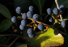 Berry Blues (Kazooze) Tags: blue nature berries shrub honeybunch srj