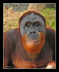 Orangutan at Audubon Zoo (Larry Daugherty) Tags: animal sumatra indonesia mammal zoo nikon rainforest asia neworleans malaysia borneo orangutan ape d200 primate pongo audubon omnivore pongidae apehouse abigfave itsazoooutthere zoosaroundtheworld mygearandme