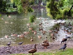 patos / ducks (carola2000) Tags: animals ducks aves animais patos