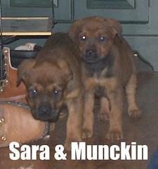 Munchkin & Sara (muslovedogs) Tags: mastiff rottweiler mastweiler zeusoffspring myladyoffspring