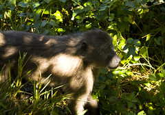 (LP365) Tags: africa southafrica hiking capetown cape baboon capepoint fynbos glencairn baboonmatters
