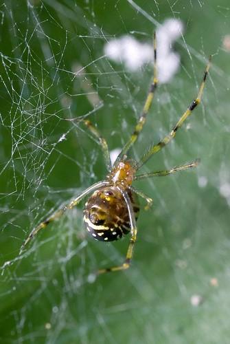 Shiny Spider