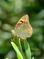 ì(( (RiCArdO JorGe FidALGo) Tags: portugal animal butterfly bug sony sintra borboleta soe insecto naturesfinest dsch2 parquedaliberdade mywinners unature diamondclassphotographer fidalgo72 ricardofidalgo ricardofidalgoakafidalgo72