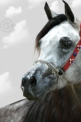 . .      _~ (Creative_photography) Tags: horse beauty canon grey p arabianhorse qatar aak 400d overtheshot hawaalrayyanfav wainelcomment mmmokajalmsmoo7pama3yrahflaahehehe kenttawnyga3dp