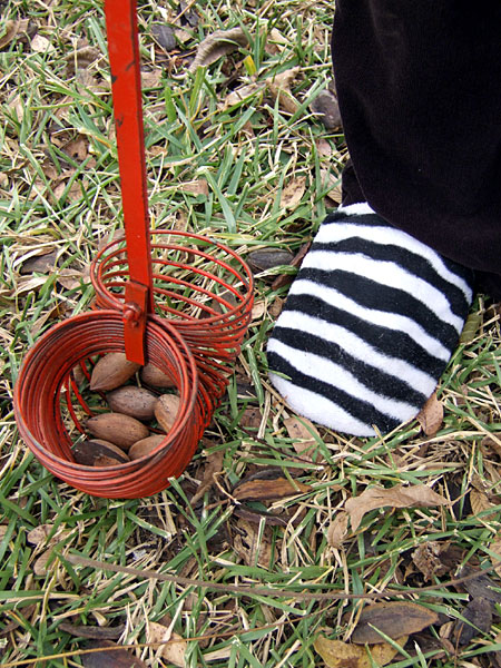 Collecting pecan nuts