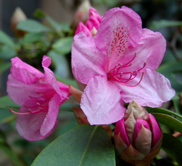 rhododendron_return_bloomed