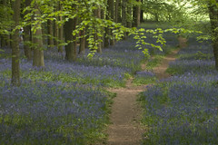 Bluebell woods (a.phasia) Tags: chilterns tring