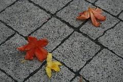 Resztki z procesji (elusja) Tags: kwiaty boeciao chodnik patki e1usya uroczystociaaikrwipaskiej