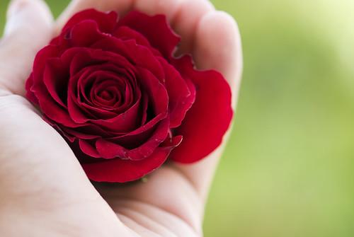 حواء كالوردة الحمراء 2521025784_96fb686ef