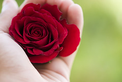 (Faris .M) Tags: red flower rose by nikon hand taken 105 f28 d300 fares wardah