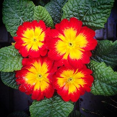 Bright and cheerful (JulieK (thanks for 7 million views)) Tags: petals bedding plant colourful 2017onephotoeachday 117picturesin2017 iphone5 gardencentre flower primroses squareformat 100flowers2017