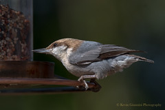 Brown-headed Nuthatch (Kevin James54) Tags: brownheadednuthatch nikond500 tamron150600mm wilmington animals avian bird kevingianniniphotocom nuthatch