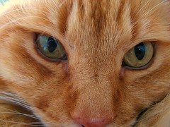 Buddy (Konabish ~ Greg Bishop) Tags: cats yellow feline buddy rescued catseyes abandonedcat morristhecat itsintheeyes formerferalkitty largeredtabbytom