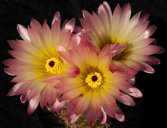 ONE OF THE REASONS... (fabiogis50) Tags: flowers cactus flower nature petals fiori pestels hennysgardens aboveandbeyondlevel4 aboveandbeyondlevel1 aboveandbeyondlevel2 aboveandbeyondlevel3 vigilantphotographersunite vpu2 vpu3 vpu4 vpu5 vpu6 vpu7 vpu8 vpu9 vpu10