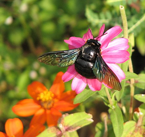 carpenter bee on flower lalbagh 051007