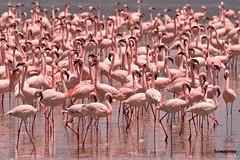 Flamingo (Wild Dogger) Tags: pink bravo kenya wildlife flamingo portfolio soe kenia cotc breathtaking themoulinrouge naturesfinest lakenakuru cotcmostfavorited flickrsbest abigfave perfectangle worldbest goldmedalwinner platinumphoto powerofart impressedbeauty avianexcellence diamondclassphotographer flickrdiamond megashot mycameraneverlies excellentphotographerawards theunforgettablepictures eliteimages naturewatcher overtheexcellence platinumheartaward excapture bfgreatesthits theperfectphotographer goldwildlife theroadtoheaven goldstaraward tup2 goldstarawardexcellence earthtouchcom llovemypic alemdagqualityonlyclub goldenpalmaward overtheshot fotocompetition fantasticwildlife fotocompetitionbronze grouptripod theperfectpinkdiamond worldclassnaturephoto worldclassnaturephotographer ringexcellence blinkagain dblringexcellence bestofblinkwinners blinksuperstars