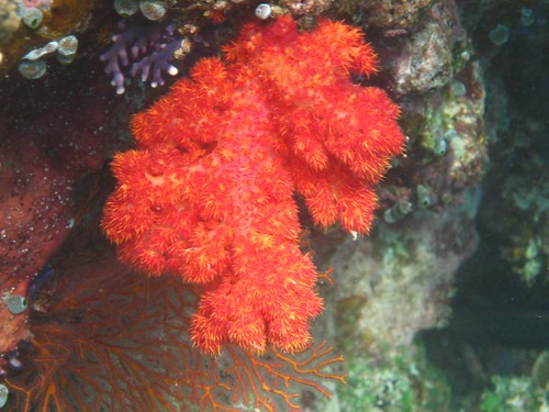 Makogai soft coral