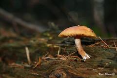 Standing alone (kees straver (will be back online soon friends)) Tags: autumn macro fall mushroom netherlands herfst nederland fungus toadstool paddestoel zwam 1785mmf456isusm keesstraver